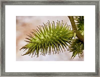 Cocklebur Fruit Framed Print