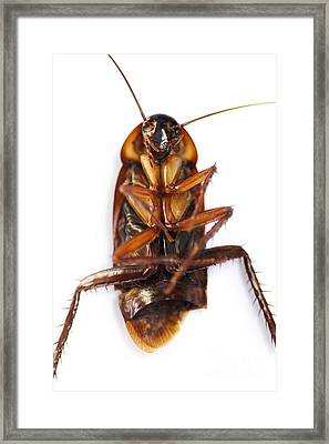 Cockroach Carcass Framed Print