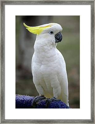 Cocky-too Framed Print by DigiArt Diaries by Vicky B Fuller