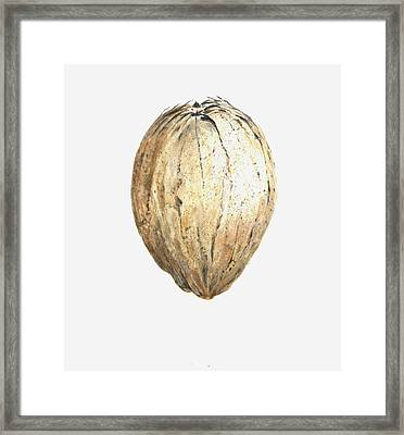 Coconut Framed Print by Lincoln Seligman