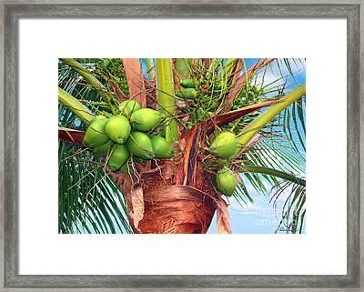 Coconut Palm Treasure Coast Florida C1 Framed Print