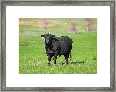 Coffee Colored Bull Framed Print by Todd Klassy