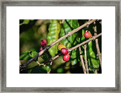 Coffee Culture In Sao Paulo - Brazil Framed Print by Carlos Alkmin