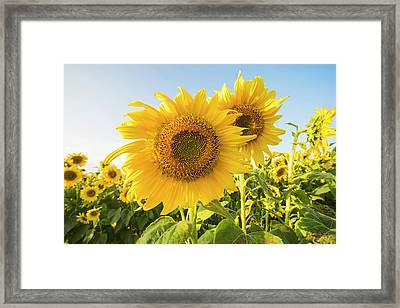 Colby Farms Sunflower Field Closeup Framed Print by Toby McGuire