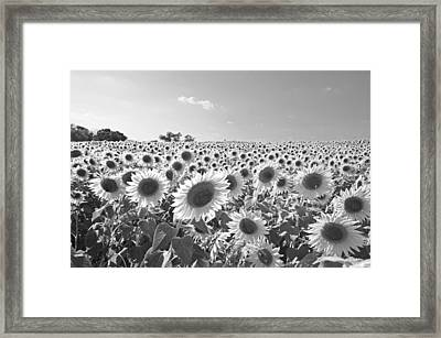 Colby Farms Sunflower Field Newbury Ma Black And White Framed Print by Toby McGuire