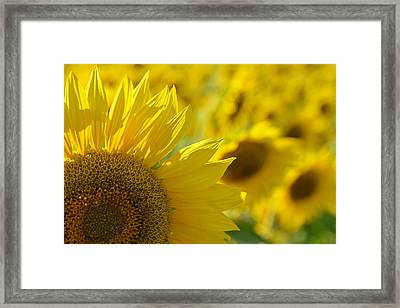Colby Farms Sunflower Field Newbury Ma Closeup Framed Print by Toby McGuire
