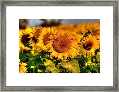 Colby Farms Sunflower Field Newbury Ma Lineup Framed Print by Toby McGuire