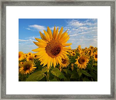 Colby Farms Sunflower Field Newbury Ma Sunrise Framed Print by Toby McGuire