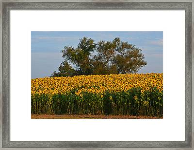 Colby Farms Sunflower Field Newbury Ma Tree Framed Print by Toby McGuire