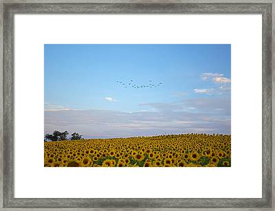 Colby Farms Sunflower Field With Birds Overhead Framed Print by Toby McGuire