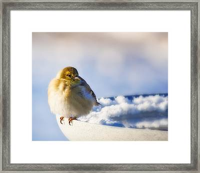 Cold American Goldfinch Framed Print