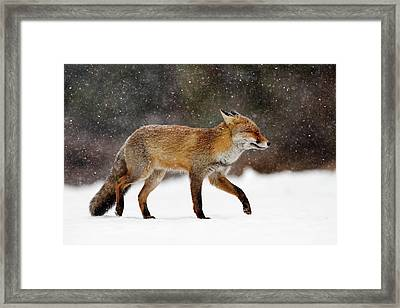 Cold As Ice - Red Fox In A Snow Blizzard Framed Print