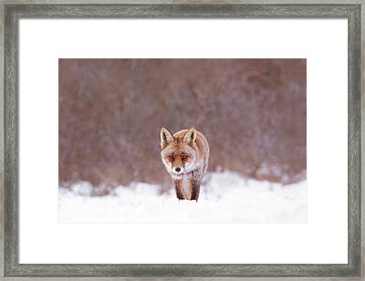 Cold Encounter - Red Fox In The Snow Framed Print by Roeselien Raimond
