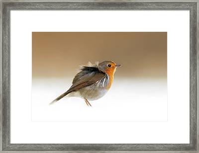 Cold Feet II - Little Red Robin In The Snow Framed Print