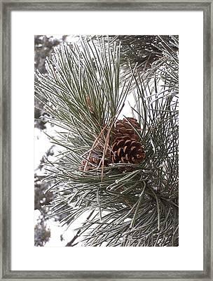 Cold Pine Framed Print