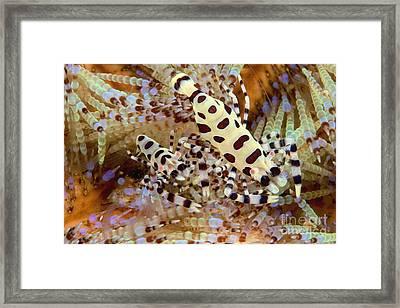 Coleman Shrimp Framed Print