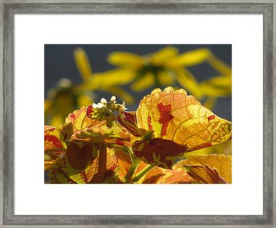 Coleus  Framed Print by Alfred Ng