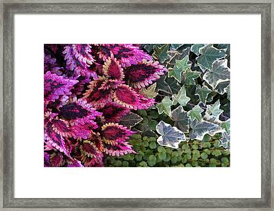 Framed Print featuring the mixed media Coleus And Ivy- Photo By Linda Woods by Linda Woods