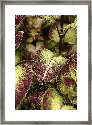 Coleus Plant Framed Print by Erin Paul Donovan