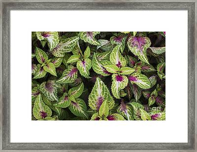 Coleus Rose Lime Magic Framed Print by Tim Gainey