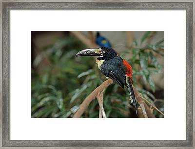 Framed Print featuring the photograph Collared Aracari by JT Lewis