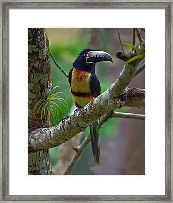 Collared Aracari  Framed Print