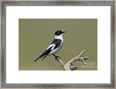 Collared Flycatcher Framed Print by Richard Brooks/FLPA