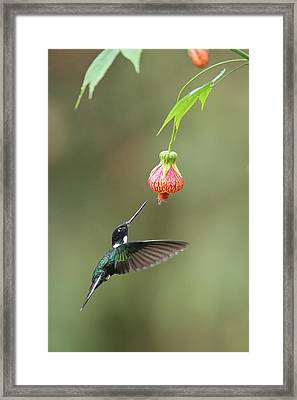 Collared Inca And Flower In Ecuador Framed Print