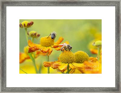 Collecting Nectar Framed Print by Tim Gainey