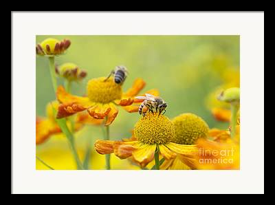 Bee Collects Nectar Framed Prints