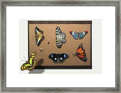 Collector - Lepidopterist - My Butterfly Collection Framed Print