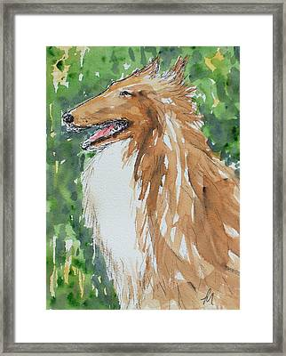 Collie Framed Print by Pete Maier
