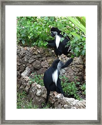 Colobus Monkey Eating Leaves For Breakfast Framed Print