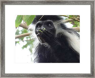 Colobus Monkey Eating Leaves In A Tree 2 Framed Print