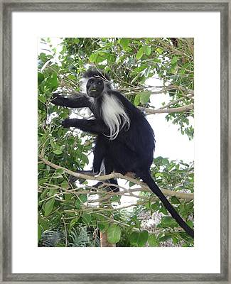 Colobus Monkey Eating Leaves In A Tree Framed Print