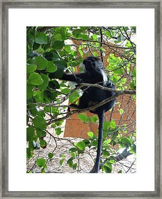 Colobus Monkey Eating Leaves In A Tree - Full Body Framed Print