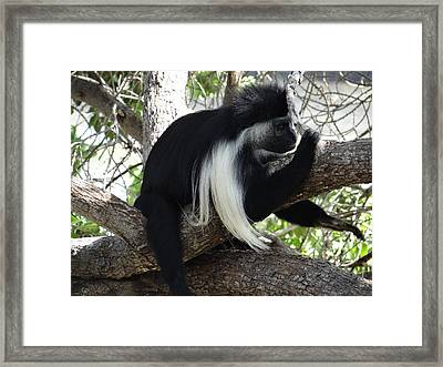 Colobus Monkey Resting In A Tree Framed Print