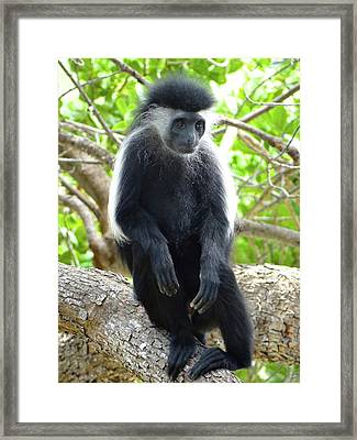 Colobus Monkey Sitting In A Tree 2 Framed Print