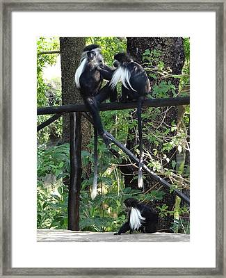 Colobus Monkeys Picking Fleas Framed Print