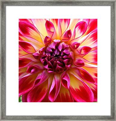 Color Burst Dahlia  Framed Print