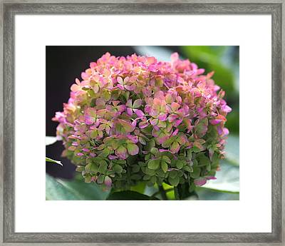 Color-changing Little Lime Hydrangea Framed Print