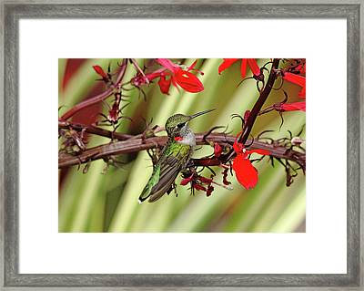 Color Coordinated Hummer Framed Print by Debbie Oppermann