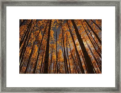 Colorado Aspens Framed Print