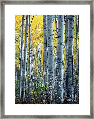 Colorado Aspens Framed Print by Inge Johnsson