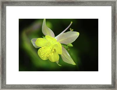 Framed Print featuring the photograph Colorado Columbine by Marie Leslie