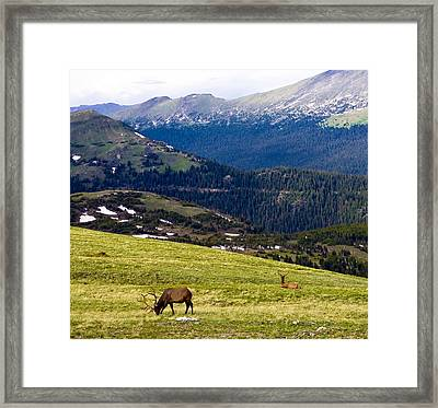 Colorado Elk Framed Print by Marilyn Hunt