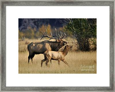 Colorado Elk  Framed Print