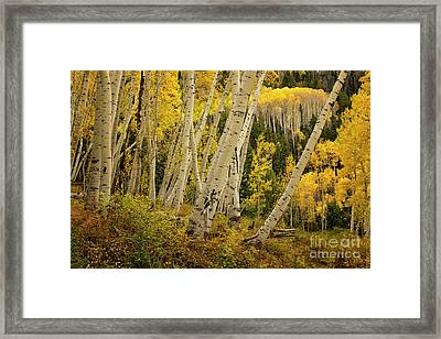 Colorado Fall Aspen Grove Framed Print