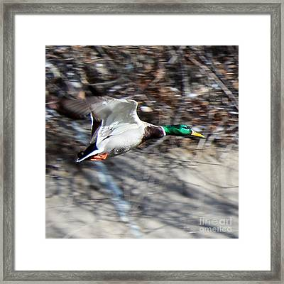 Colorado Mallard In Flight Framed Print