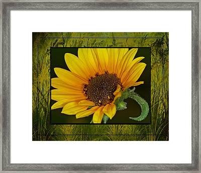 Colorado Sunflower Framed Print